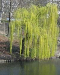 weeping-willow-at-a-lake-1376378.jpg
