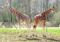 giraffes-s-couple-1381583.jpg